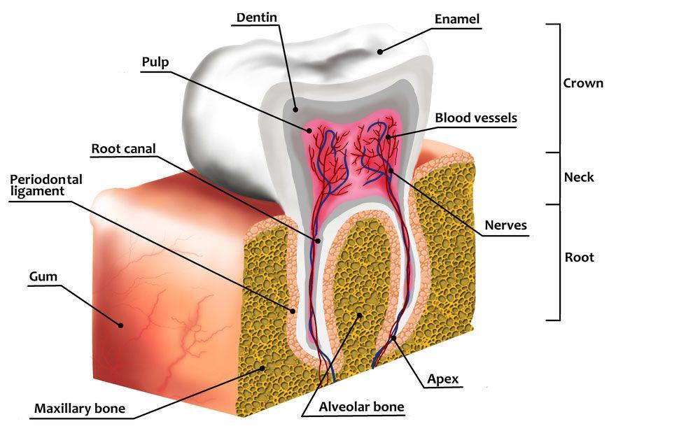 dr-kim-okamura-enamel-tooth-diagram